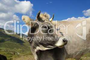 Almkuh - alp cow 01
