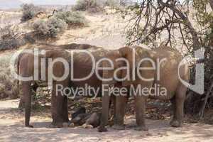Wüstenelefanten in Namibia