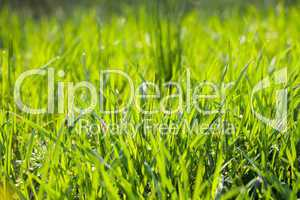 background young grass with dew
