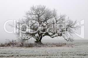 Alte Eiche im Nebel