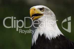 Portrait eine Weißkopfseeadlers