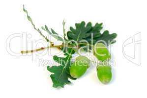 Acorns oak branch