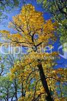 Big autumn tree in fall park