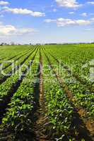 Rows of turnip plants in a field