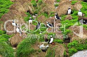 Puffins nesting in Newfoundland