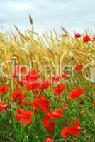 Grain and poppy field