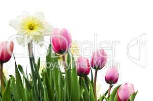 Tulips and daffodils on white background