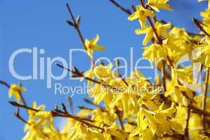 Spring bloom forsythia