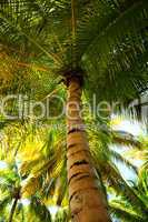 Palm tree canopies in tropical forest