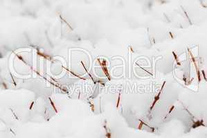 Snow covered shrubs