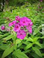 leuchtende lila pink Blüte