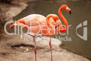 Beautiful Flamingo Couple Rest