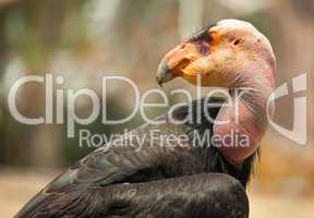 Profile of California Condor
