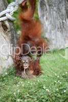 Two baby orang utans