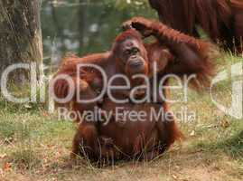 Mother orang utan with two babies