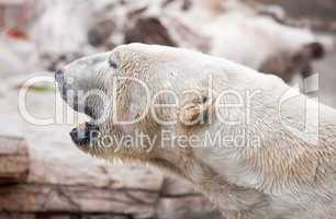 Majestic Polar Bear Profile
