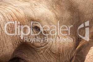 Majestic Elephant Eye Close-Up