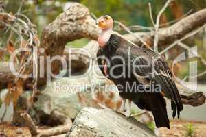 The Endangered California Condor