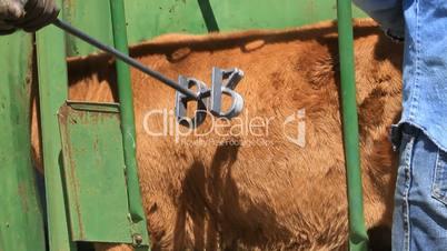 Cattle branding in chute P HD 0639