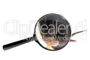 magnifying glass focused on rat