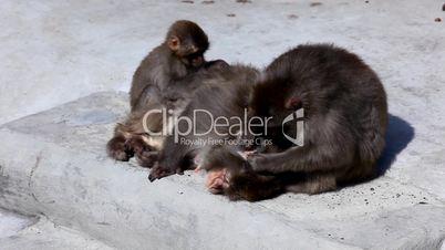 Monkey clear fur