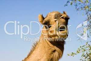 Kamel, camel