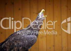 Eagle in the ZOO