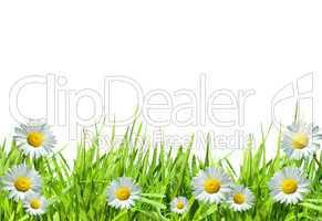 Gras und Gänseblümchen