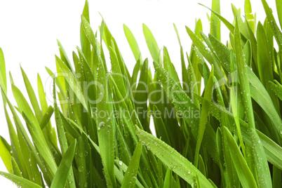 Weizengras in Großaufnahme
