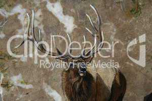 Painting of a trophy elk bugling