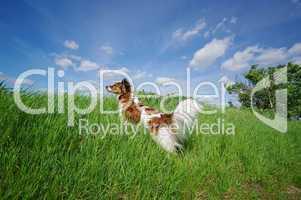Hund schaut über den Hügel