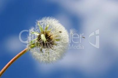 Pusteblumen am Himmel mit Pollen
