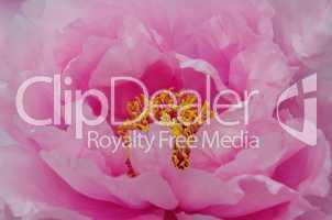Pfingstrose in Rosa mit gelben Stempel