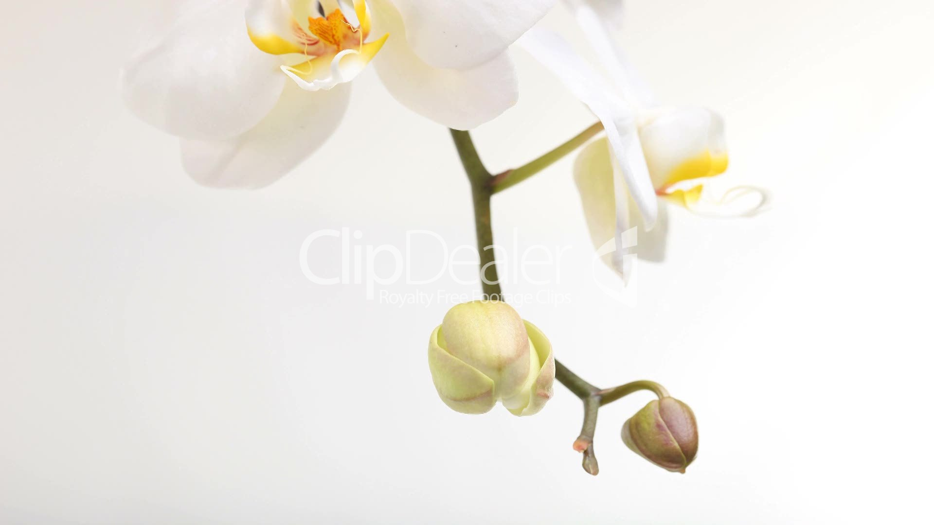 Wallpaper orchidee weiß  Weiße Orchidee: Royalty-free video and stock footage