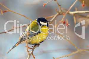 tomtit perched on a branch