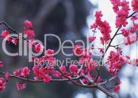 Pinke Baumblüten
