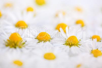 Gänseblümchen mit Wassertropfen