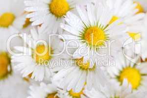 Gänseblümchen Bellis perennis mit Tautropfen