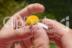 last petal of camomile