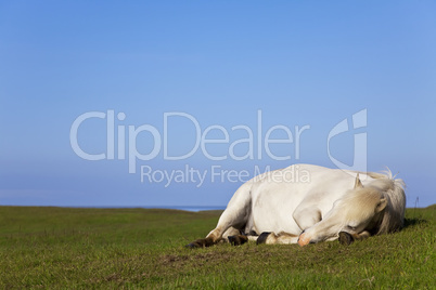 White Horse Sleeping In A Field