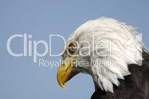 Closeup of an American Eagle