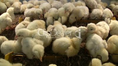 Chicken farm hatchery