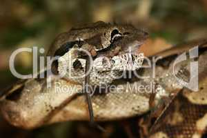 snake - boa constrictor, lunch with mice.