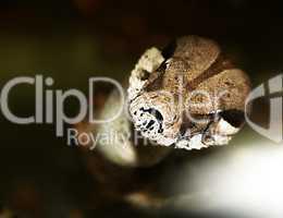 snake - boa constrictor. horror gaze
