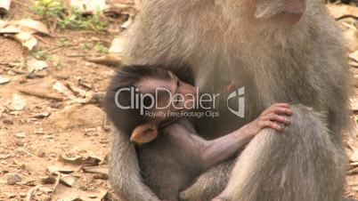Monkey Baby Nursing