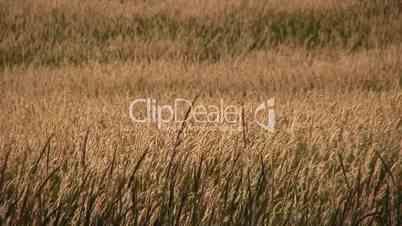 Grass in Summer Field