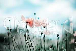 Mohnblumen Papaver rhoeas