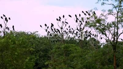 A flock of black crows