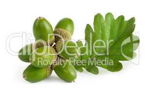 Grüne Eichel mit Blatt