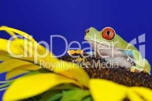 red eyed tree frog on a sunflower